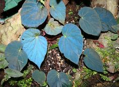 """This is a close look at the rare Begonia pavonina, the famed """"Peacock Begonia"""". When light hits the leaves from a certain angle, they light..."""
