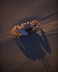 A ghost crab on the beach on Medjumbe Island off Mozambique. byJAD DAVENPORT