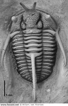 Cyphaspis walteri van Viersen and Prescher 2014  // Jebel Mrakib, Marokko Extinct Animals, Prehistoric Creatures, Antiquities, Scientists, Geology, Science Nature, Evolution, Minerals, Insects