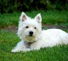 West Highland White Terrier...always wanted a westie, and with my roots would call him Angus MacTavish Balmoral Culzean.