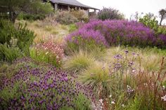 John Greenlee – Add Seasonal Accents. Muhlenbergia rigens (at R) is a native California bunch grass that grows quickly and sends up a 2-foot-high haze of fronds. | gardenista