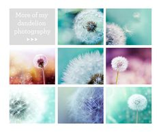 Dandelion photography botanical print 8x10 20x30 by mylittlepixels