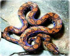 "They really do have that beautiful rainbow sheen. ""Rainbow Boa [Epicrates cenchria]  this boa species is found in central and south America. the reason this animal is called the RAINBOW boa is because of its colorful rainbow like sheen and glistens in the sunlight as..."""