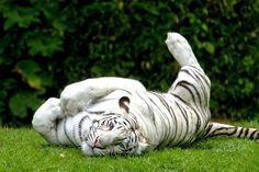 I have always wanted a White Bengal Tiger! Most Beautiful Animals, Beautiful Cats, Beautiful Creatures, White Bengal Tiger, White Tigers, Tiger Love, Tiger Tiger, Power Animal, Paws And Claws