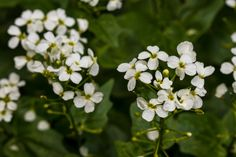 Common Watercress - Nasturtium officinale | Photo by Jacob W. Frank | Rocky Mountain National Park. (pinned by haw-creek.com)