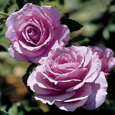 Fragrant Lavender Simplicity Hedge rose combines all the vigorous growth and prolific blooming of classic Simplicity? roses with a sparkling new color and a refreshing citrus scent. Floribunda Roses, Shrub Roses, Lavender Hedge, Fragrant Roses, Planting Roses, Garden Roses, Garden Plants, Hybrid Tea Roses, Asian Garden