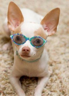 Chihuahuas, Chihuahua dogs and Bunnies on Pinterest