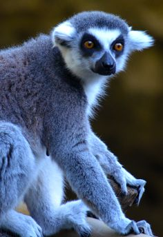 lemur, amazing creatures with human like hands