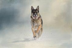 Jai Johnson | Photographic Artist: Artistic Photography - Domestic and Farm Animals &emdash; Snow Day For The Shepherd
