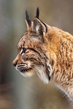 """EURASIAN LYNX (Lynx lynx) ©Tambako the Jaguar  The Eurasian lynx is the biggest of the lynxes, male lynxes from Siberia, reportedly where the species has the largest body size, can weigh up to 38kilograms (84lb). The Lynx has powerful legs, with large webbed and furred paws that act like  snowshoes. It also possesses a short """"bobbed"""" tail with an all-black  tip, black tufts of hair on its ears, and a long grey-and-white ruff. The fur is almost always marked with black spots"""