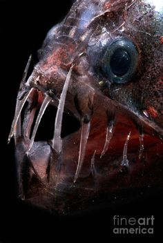 Pacific Viperfish Photograph by Dante Fenolio Underwater Creatures, Underwater Life, Rare Animals, Animals And Pets, Evil Mermaids, Deep Sea Creatures, Deep Sea Fishing, Life Form, Sea Monsters