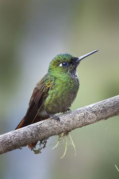 Foto beija-flor-rubi (Clytolaema rubricauda) por Luiz Frare   Wiki Aves - A Enciclopédia das Aves do Brasil