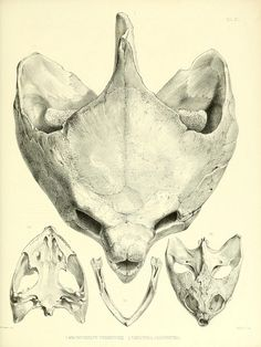 Skulls of Macrochelys temminckii (alligator snapping turtle) and Chelydra serpentina (common snapping turtle), Catalogue of shield reptiles in the collection of the British Museum,1855-1872