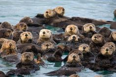 ✮ Sea Otter Family Portrait