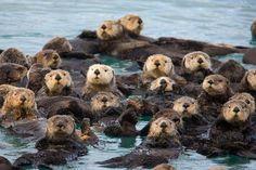 ✮ Sea Otter Family Portrait