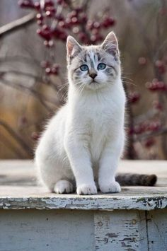 Cute Cats And Kittens, I Love Cats, Crazy Cats, Cool Cats, Kittens Cutest, Ragdoll Kittens, Tabby Cats, Funny Kittens, Bengal Cats