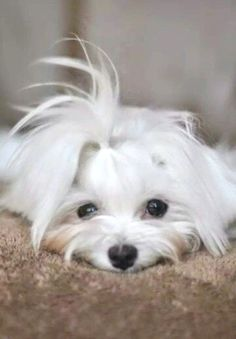 Gorgeous #maltese! Looks just like my Sandy....love ❤