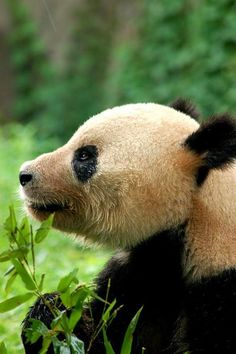 Image result for panda face clipart
