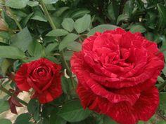 Rosas do meu jardim.
