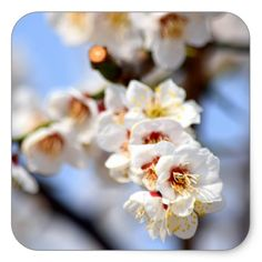 The significance of the cherry blossom tree in Japanese culture goes back hundreds of years. In their country, the cherry blossom represents the fragility and the beauty of life. It's a reminder that life is almost overwhelmingly beautiful but that it is also tragically short.
