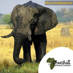 It's #WorldElephantDay. #Elephants continue to roam across much of #Africa, but these magnificent animals remain under severe threat from poaching, habitat loss, and human-wildlife conflict. #travel #elephant #ChooseUganda #visitUganda  www.churchillsafaris.com