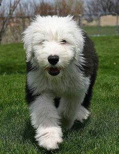 Old English Sheepdog puppy - This working dog is considered affectionate and loving, although there may be an instinct to herd its family; this might not be so bad if the kiddos are running late for school. The AKC described this breed as athletic filled with clownish energy.