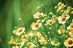 Pale Yellow - 8x12 Fine Art Photography Print - nature natural flowers floral yellow green pastel bokeh summer spring photograph. via Etsy.