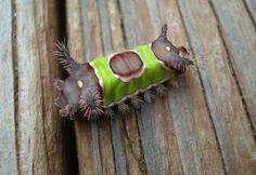 larvas y mariposas 13