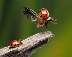Insects, animals captured with high-speed photography Incredible photo of a liftoff by a ladybug by Scott Linstead High Speed Photography, Macro Photography, Tiger Photography, Beautiful Bugs, Amazing Nature, Funny Animals, Cute Animals, Photo Animaliere, Fotografia Macro