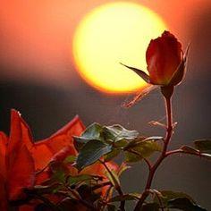 #sun #setting #sunset behind orange #roses captured in #color #Nikon #d5200