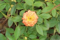 'Ring of Fire ™ (Miniature, Moore, 1986)' rose photo