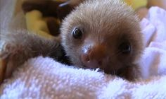 oh. my. lord. #adorable #baby #sloth