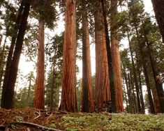 The Giant Redwoods of California are the loftiest, tallest and one of the most colossal tree species on Earth. They can breed up to 380 feet (115m) in height and up to 26 feet (8m) in diameter. These trees can live up to 2,200 years. The Giant Redwoods are an evergreen tree only found in California. The lenient, tough tree bark is up to 12 inches thick with a red-brown color. No tour of California is complete without seeing these massive Giant Redwoods.