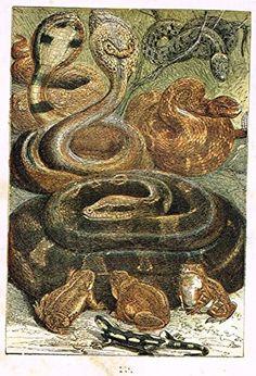 "Buffon's Fish - ""SNAKE, RATTLESNAKE, FROG, TOAD ETC."" - Chromolithograph - 1869"