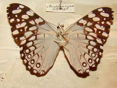 From the natural history cabinet of Alfred Russel Wallace; this incredible cabinet was famously discovered in 1979.