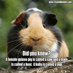 Did you know? A female guinea pig is called a sow and a male is called a boar. A baby is called a pup. #guineapig #facts #babyguineapig #pets #petlove #smallpet