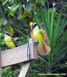 The Courtship Behavior of the Great Kiskadee is revealed by Naturalist Guide David Juarez http://www.chaacreek.com/belize-travel-blog/2013/01/the-great-kiskadee-2/