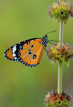 "/ Photo ""anaus (Anosia) chrysippus Linnaeus"" by Mustafa Öztürk Butterfly Effect, Butterfly Kisses, Butterfly Wings, Beautiful Bugs, Beautiful Butterflies, Animals Beautiful, Mariposa Butterfly, Butterfly Family, Gossamer Wings"