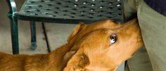 Ooit dat redelijk gênante moment meegemaakt dat een hond zijn snuit in je kruis drukt en maar blijft ruiken? Alsof je een biefstuk in je onderbroek hebt verstopt? Waarom doet de hond dit eigenlijk?