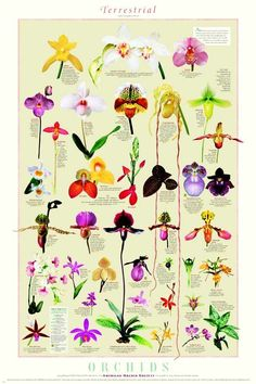 Terrestrial Orchids, American Orchid Society chart print.