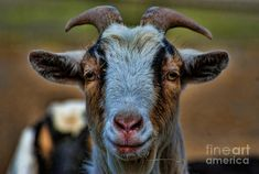 Billy Goat Photograph by Paul Ward
