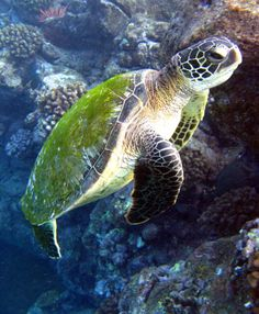 Turtle ~ Love the green home covering! Underwater Life, Underwater Photos, Beautiful Creatures, Animals Beautiful, Cute Turtles, Sea Turtles, Baby Animals, Cute Animals, Turtle Love