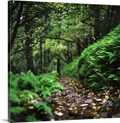 Fern-Lined Trail Through Forest