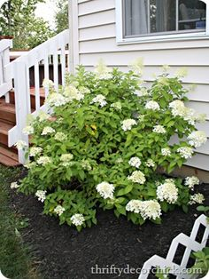 How to grow hydrangeas and not kill them