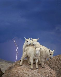 Four baby mountain goats perch on top of Mount Evan, CO during a lightening storm. Picture by Verdon Tomajiko