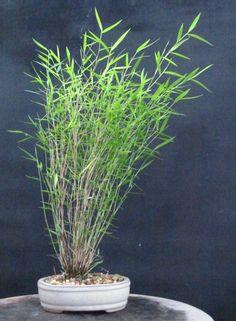 "Pogonatherum crinitum  ""German Bamboo""  ""Bonsai Bamboo""  ""Bamboo Grass"""