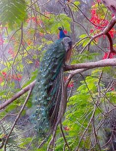 Peacock, in the tree