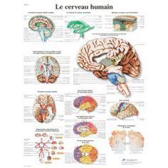 Planche anatomique Le cerveau humain VR2615UU