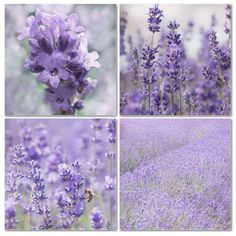 Lavender  by JeansViews on Etsy