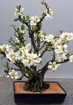 Multi-Trunk Style Bonsai In Bloom. Blooming Bonsai Are Often Put In Glazed Pots, Of Brighter Colors Compared To Conifers: Mostly Put In Unglazed Earth Tones Planting Flowers, Plants, Bonsai Tree, Ikebana, Beautiful Flowers, Bonsai Flower, Trees To Plant, Flowers, Miniature Trees